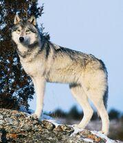 http://ru.wolvesofthebeyond.wikia.com/wiki/%D0%A4%D0%B0%D0%BE%D0%BB%D0%B0%D0%BD?file=The_Scout_Gray_Wolf