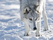 Kimberly-walker-alaskan-tundra-wolf-canis-lupus-tundrarum-in-winter-grizzly-and-wolf-discovery-center-west-yell a-G-8944275-4990699