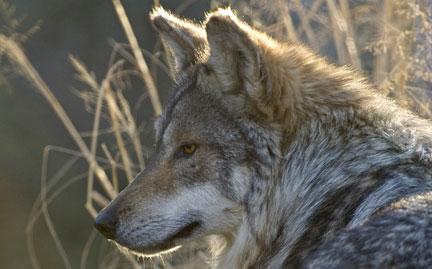 File:Large-gray-wolf-photo.jpg