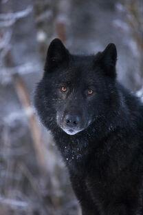 Black-wolf-portrait-john-hyde