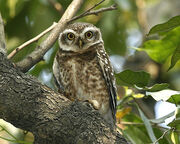 070224 spotted owl Q0S2745.jpg