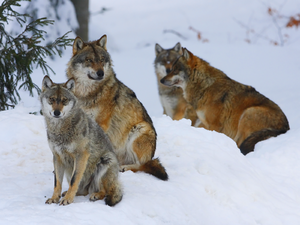 Winter Wolf Pack WaLp TW
