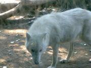 Arctic Wolf, Berlin Zoo