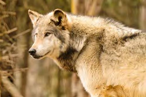 Golden Brown Wolf
