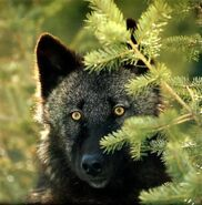 Black-wolf animal-pictures-archive3