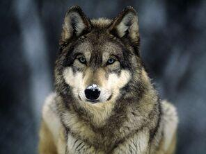 Grey-wolf 565 600x450 (1)