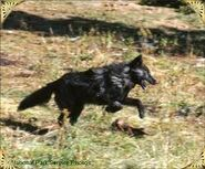 Black wolf jumping