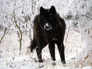 Black-wolf-in-snow-beautiful-eyes-kewl