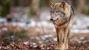 1920x1080-px-animals-wolf-750732