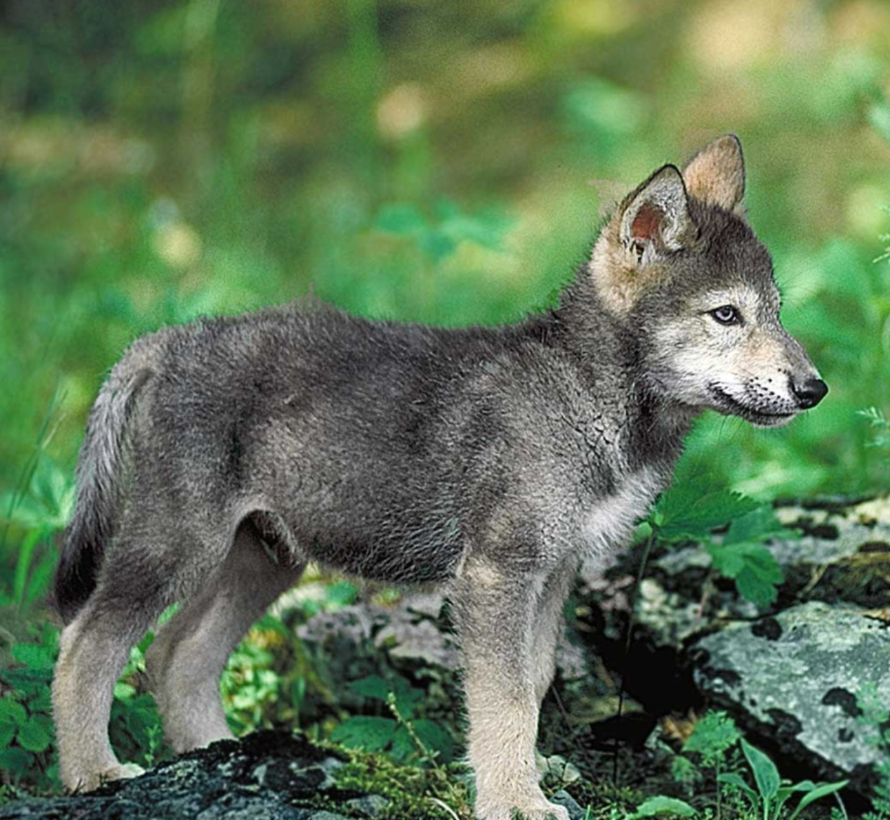 Faolan wolves of the beyond wiki fandom powered by wikia imagepuppyfaolan biocorpaavc