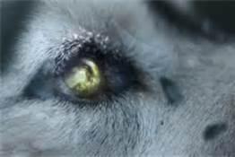 File:Wolf eye.jpg