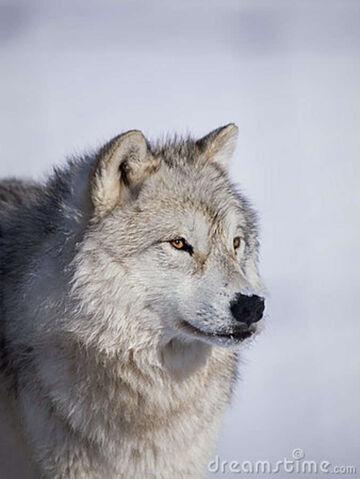 File:Alpha-male-arctic-wolf-22929864.jpg