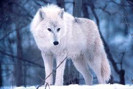 Articwolf6