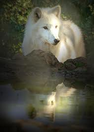 AlaskanTwolf5