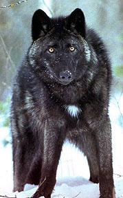 Bcolumbianwolf