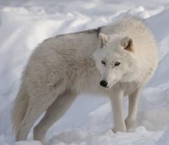 Articwolf1