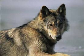 Vancouver island wolf 01