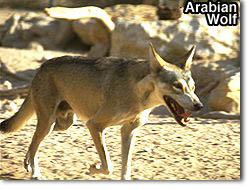 Arabianwolf