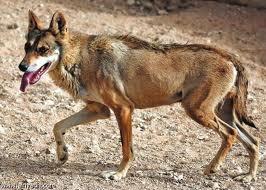 Arabianwolf3