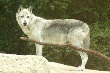 Mackenzie tundra wolf