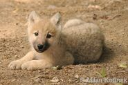 Hb wolf pup2