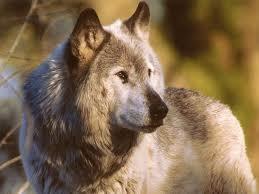 Articwolf4