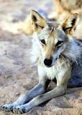 Arabianwolf4