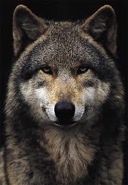 AlaskanTwolf8