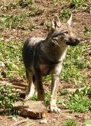 Italian wolf 1