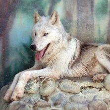 82505702mackenzie tundra wolf 5