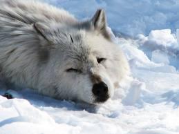 Articwolf9
