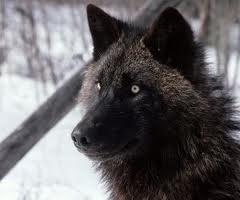 AlaskanTwolf2