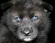 AlaskanTwolf