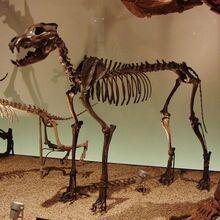 Canis dirus skeleton-660x660
