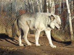 AlaskanTwolf3
