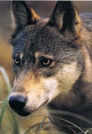 Arabianwolf6