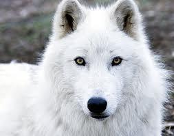 Articwolf3