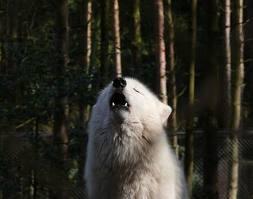 Articwolf7