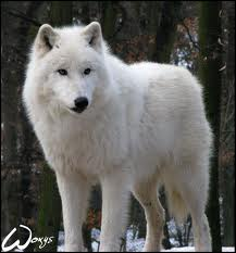 Articwolf5