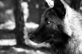 AlaskanTwolf9