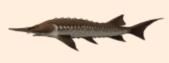 File:Emperor fish.png