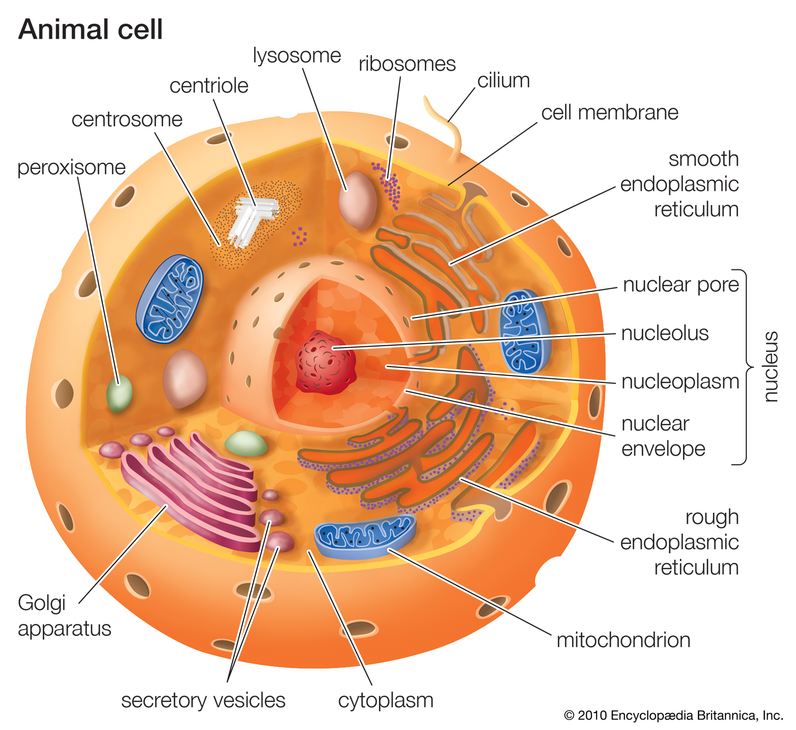 Image animal cell diagramg world of the jins wiki fandom animal cell diagramg ccuart Images