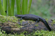 Great-Crested-Newt-Images