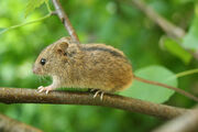 Birch mouse