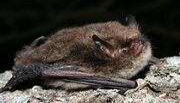 Brandts bat