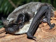 Parti-coloured-bat-xxxve04