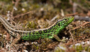 Dominic Sand Lizard 1