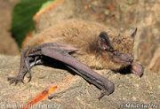 Nathusius-pipistrelle-0004
