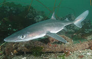 Spiny dogfish 2