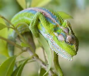 File:Cape Dwarf Chameleon.jpg
